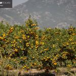 obiranje-mandarin-2018-062