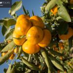 obiranje-mandarin-2018-071